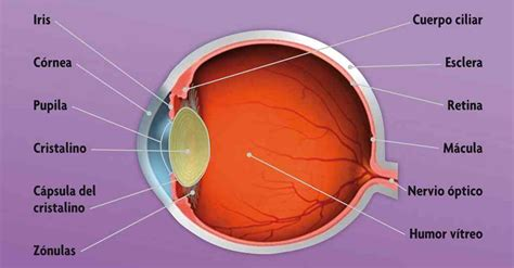 imagenes de ojos humanos y sus partes partes del globo ocular