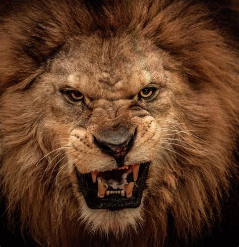 google images lion scary lion google search tattoos pinterest search
