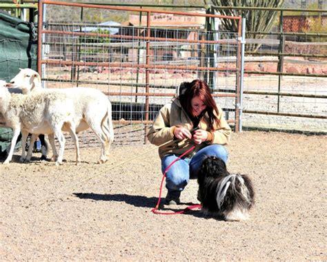 havanese rescue az havanese breeder arizona havanese puppies havanese puppy
