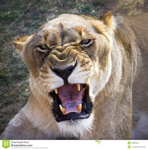 when a lioness growls a s pride books roaring stock photo image 48999003