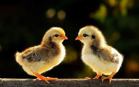 imagenes de aves sin fondo fondos de pantalla 1920x1200 aves pollos animalia