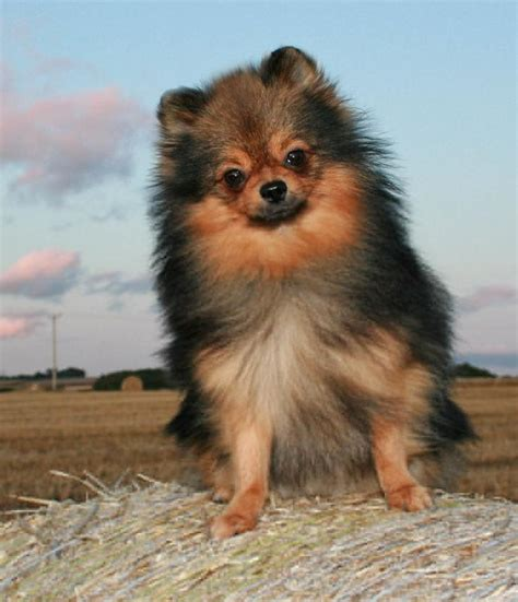 pomeranian colors pomeranian information the family pet