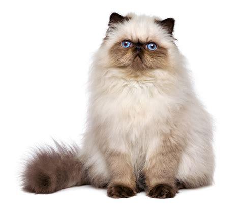 Cat Breeds 101: The Persian   GreenGato.com