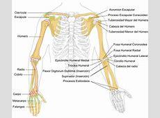 File:Human arm bones diagram-es.svg - Wikimedia Commons Brachial Plexus Drawing