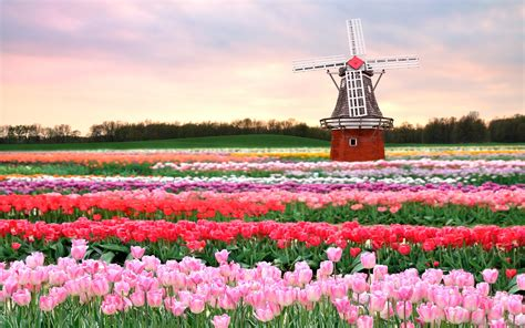 tulip field spring in the netherlands the tulipomania discover