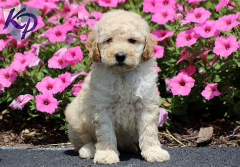 mini goldendoodle puppies for sale in pa 19 best i want one images on goldendoodles for sale puppies for sale and