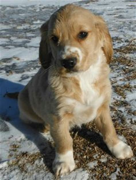 mini golden retriever cocker spaniel mix future dakota sport retriever golden cocker spaniel mix dogs