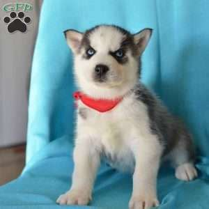 husky puppies dallas siberian husky puppies for sale in pa