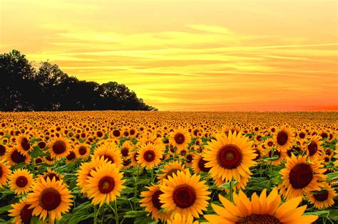kansas images kansas sunflowers hd wallpaper and sunflower vintage hd wallpaper 23730 baltana