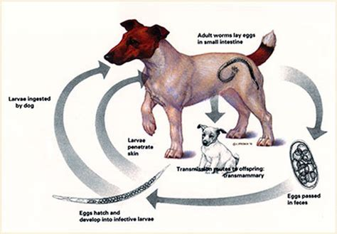 cycle of a puppy the cycle of dogs the amazing breeds of the world