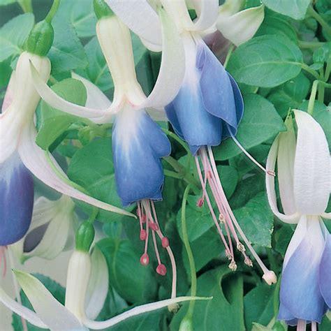Fuschia On Blue by Buy Upright Fuchsia Blue Plugs Babyplants