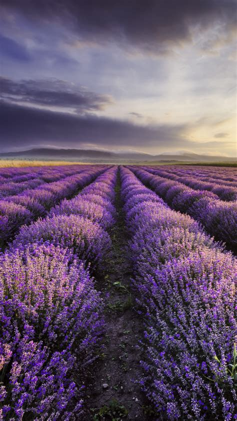 sunrise  dramatic clouds  lavender field bulgaria