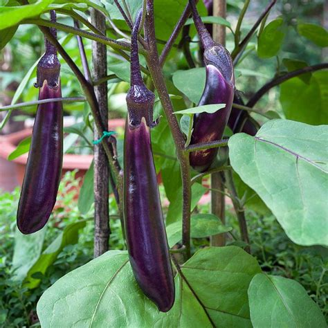 Bonnie Plants 4.5 in. Ichiban Eggplant 2601   The Home Depot