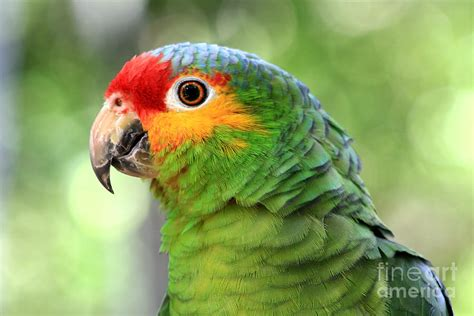 amazon parrot red lored amazon parrot photograph by teresa zieba