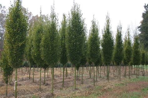 horn tree columnar hornbeam tree