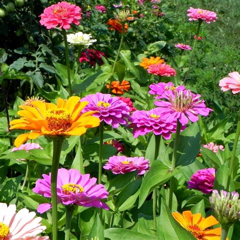 Zinnias Flower Garden Power Of The Flower Zinnias