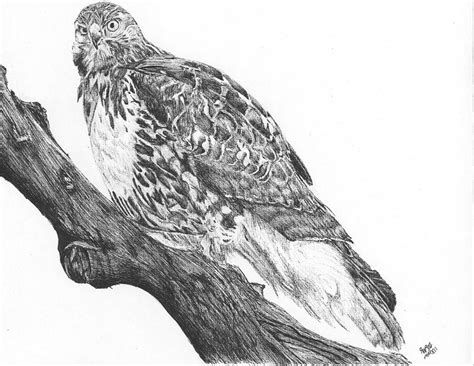 hawk on a tree limb drawing by reppard powers