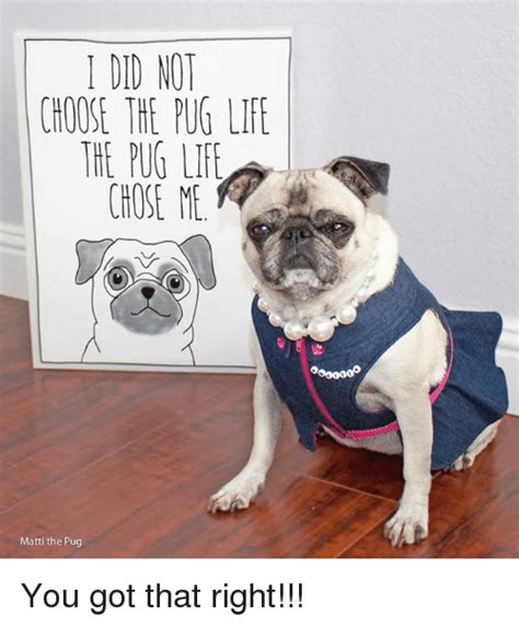 is a pug the right for me 25 best memes about pug pug memes