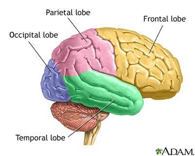brain diagram lobes the four lobes of the brain brain human brain diagram