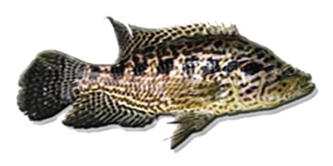 invasive fishes bfar pcaarrd providing network for