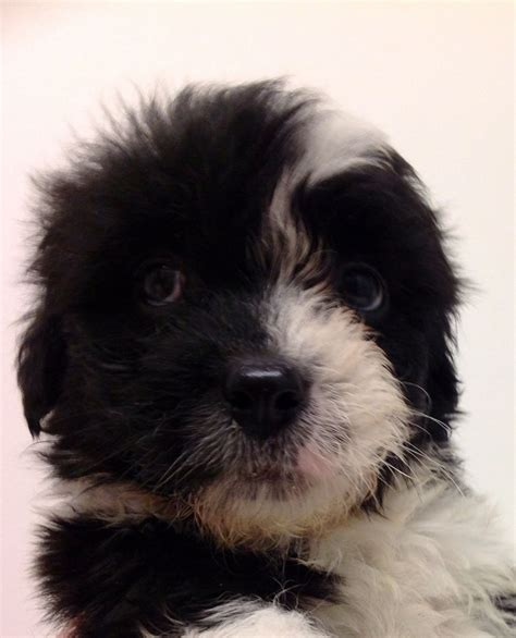 shih tzu cross puppies for sale shih tzu cross puppies for sale non limavady county londonderry pets4homes
