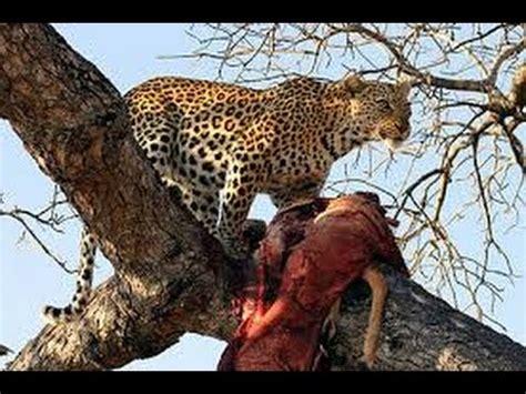 tier dokumentarfilm löwen jagd leoparden im baum