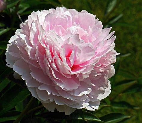fiore di peonia peonia lo splendido fiore simbolo unione