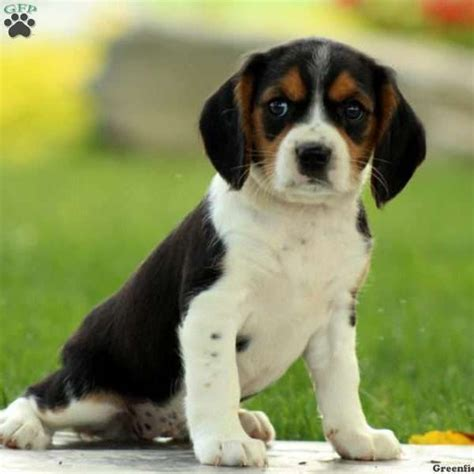 beaglier puppies for sale 25 best ideas about beaglier puppies for sale on beagle puppies