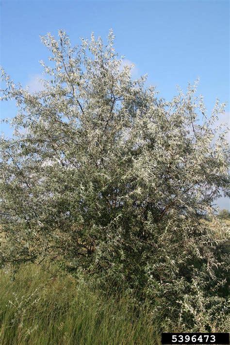 russian olive elaeagnus angustifolia rhamnales elaeagnaceae 5396473