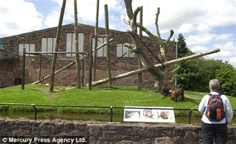 panic for 5,000 visitors at chester zoo as 30 chimpanzees