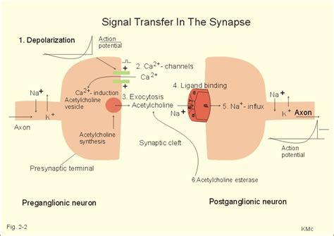 Synaptic Knob Definition by Synaptic Knob Definition