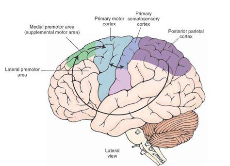motor association area image gallery motor cortex