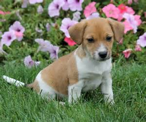 Darling jack russell pocket beagle mix puppies craigspets