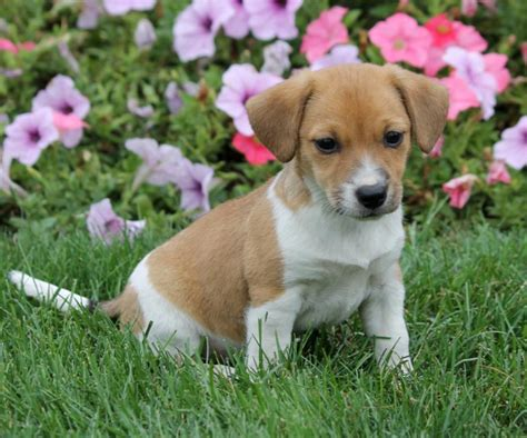 beagle puppies for sale in indiana pocket beagle mix puppies craigspets