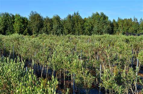 piante di ulivo da giardino olivi da giardino ulivi olea europaea alberi ulivi alberi