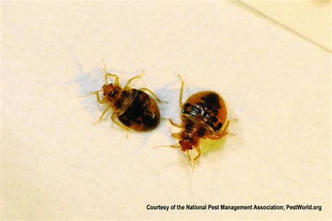 How Can Bed Bugs Live Without A Host by Bed Bug Lifespan How Can They Survive Without A Host