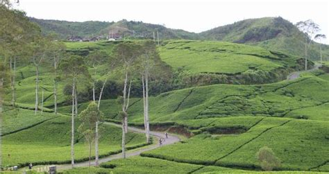 Teh Pucuk Paling Kecil tempat wisata di ciwidey yang paling terkenal