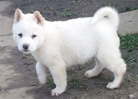 akita puppy for sale japanese akita puppies for sale keighley west pets4homes