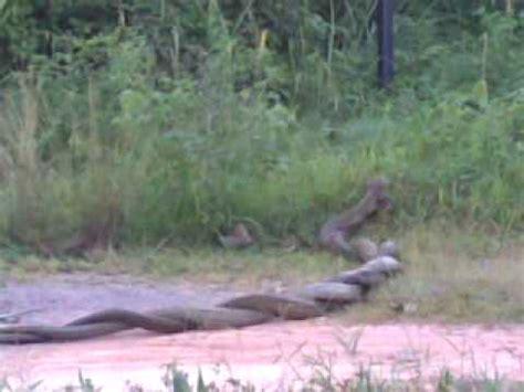 ular tedung  besar  temui youtube