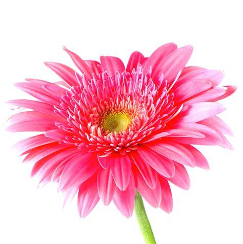 imagenes rosas de todos los colores gifs y fondos galilea flores en tono rosa
