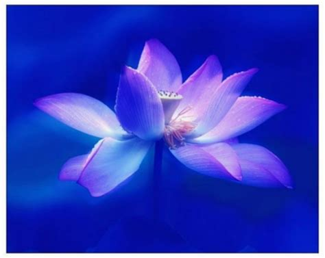 wallpaper blue lotus blue lotus flowers nature background wallpapers on