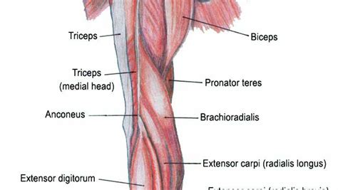 arm diagram forearm diagram pictures to pin on