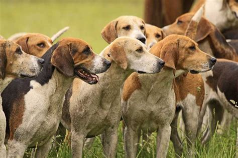 american best puppies 30 best dogs gun breeds for all types of hunts