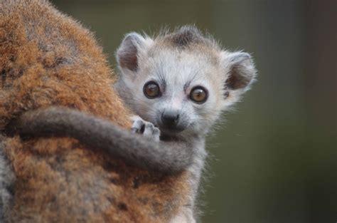 baby lemur photos of cute lemurs that will make your heart melt