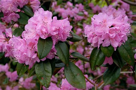 flowering shrubs for shaded areas rhododendron olga