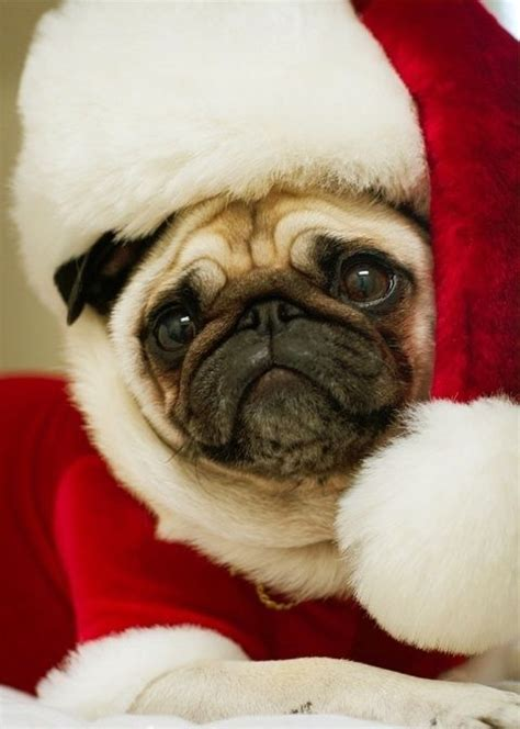 santa pug santa pug is coming to town pups