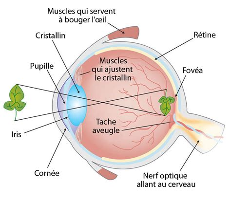 the eye is the l of the comment fonctionne la vision ask a biologist
