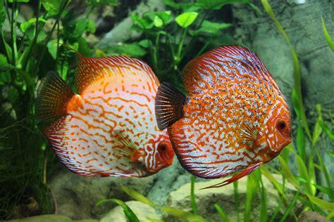 Makanan Ikan Hias Di Akuarium foto gratis ikan diskus akuarium ikan hias gambar