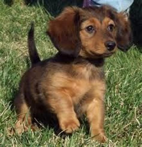 dotsons puppies 1000 images about dotson babies on dachshund