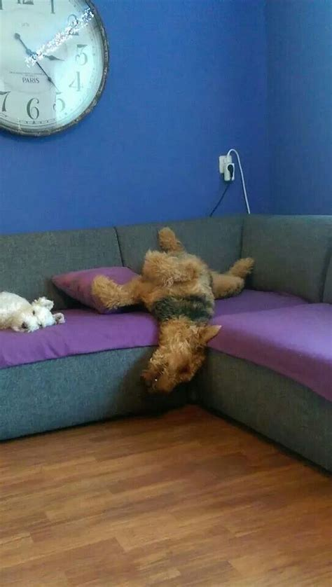puppy sleeps all the time the 10 most awkward schnauzer sleeping